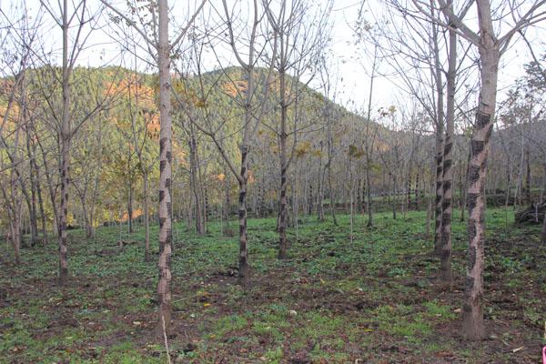 大子町には約一万本の漆の木が植えられています